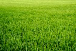 beautiful green lust grass field horizon background