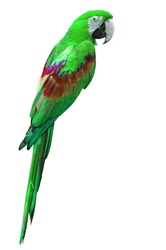 beautiful green macaw isolated on white background