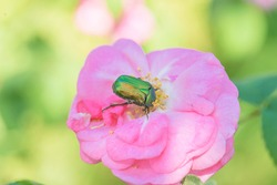 beautiful green maybug on the pink rose flower close up