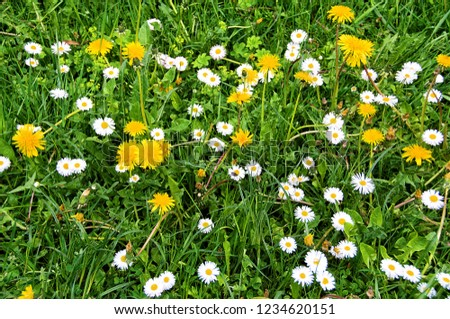 Beautiful green meadow with nice chamomile and yellow dandelions. Wonderful rural landscape. Amazing meadow with wildflowers. Summer countryside environment. Green pasture. Herbs