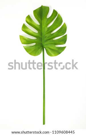 Beautiful green Monstera leaf isolated on white background. Tropical plant popular in home decor.