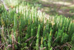 Beautiful green moss in the sunlight, moss closeup, macro. Beautiful background of moss. Autumn, forest, nature, wildlife