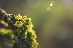 Beautiful green moss in the sunlight, moss closeup, macro. Moss grows on the tree, beautiful background of moss. place for text. Leaf on Moss, Moss autumn, forest moss, moss seeds, Nature,Wildlife