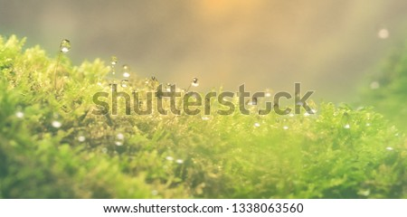 Beautiful green moss with dew drop on the floor in the sunlight , moss closeup, macro. Beautiful background of moss for wallpaper.  #1338063560