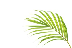 Beautiful green palm leaf isolated on white background with clipping path for design elements, tropical leaf, summer background