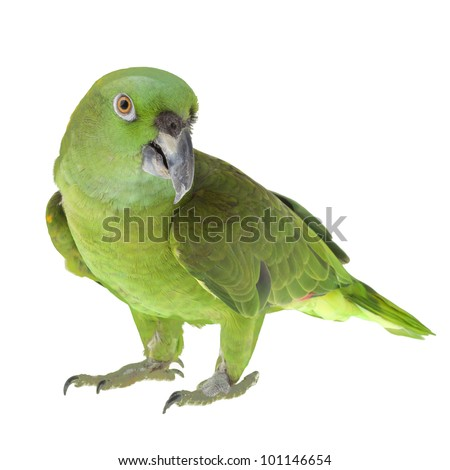 Beautiful green Parrot isolated on white