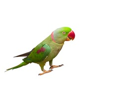 Beautiful green Parrot isolated on white with clipping path.