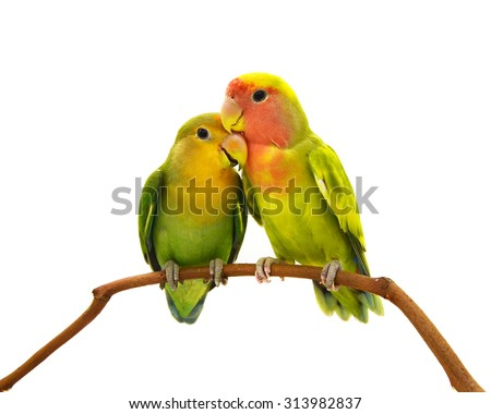 beautiful green parrot lovebird isolated on white background