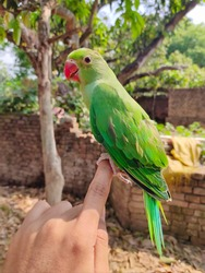 Beautiful green parrot sitting on hand. Small green parrot,  parrot sitting on hand