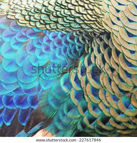 Beautiful Green Peacock feathers, texture abstract background