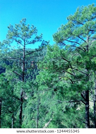 beautiful green pine trees and blue sky combinational pic