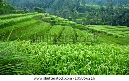 Beautiful green rice paddy field. Rice terrace