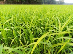 Beautiful green rice plant or grass in the morning in the agricultural field.Baby rice plant for sowing in the field with the hope of good harvest.High yielding variety of rice plant in India.