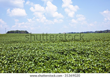 Beautiful green soybean field with blue sky and puffy white clouds.