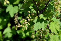 Beautiful green spring abstract background of nature. Ribes nigrum. Black currant. Spring green flowers on a tree branch. Black currant
