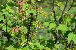 Beautiful green spring abstract background of nature. Ribes nigrum. Black currant. Spring green flowers on a tree branch. Black currant in bloom. Gardening