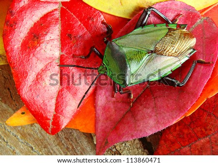 Beautiful Green Stink Bug on Red and Yellow Autumn Leaves