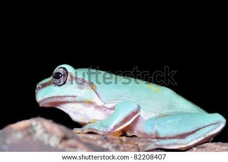 beautiful green tree frog