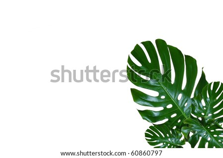 Beautiful, Green, Waxy Leaves with Room for Text (Monstera Deliciosa) - stock photo