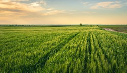Beautiful green wheat field in countryside photographed in golden hour.