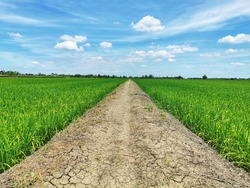 Beautiful green young rice field, Soil road through the green rice field and clouds on blue sky in summer day.