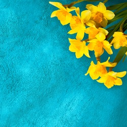 Beautiful Greeting cards for the holiday March 8th, Mothers Day, Birthday. Turquoise background with Yellow daffodils flowers. Square Web banner With Copy Space for text. Top view, Flat lay.