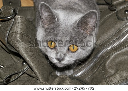 Beautiful grey british shorthair kitten with adorable orange coloured eyes (love, pet background)