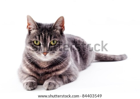 beautiful grey brown black and white striped cat laying down