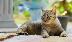 Beautiful grey cat.