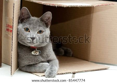 Beautiful grey cat in a box