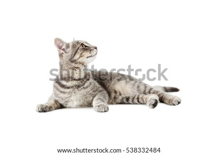 beautiful grey cat isolated on...