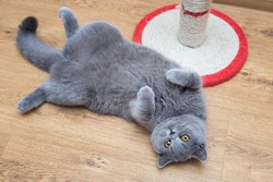 Beautiful grey cat lying in a belly-up position