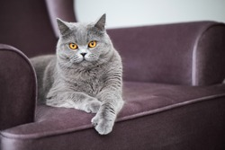 Beautiful grey cat lying on a soft chair, British Shorthair cat, adorable and funny pet