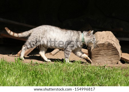 Beautiful grey cat moving in the garden