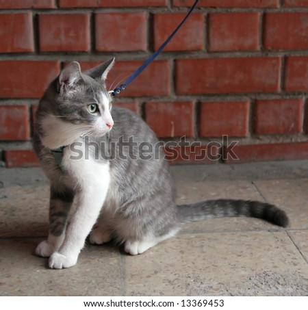 beautiful grey cat on leash waits an owner