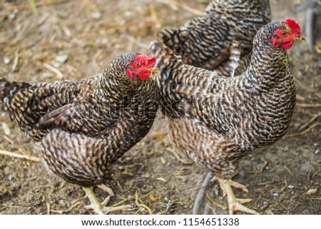 Beautiful grey hens on barnyard. Poultry farm. Gray chicken walkinng in a farm garden.