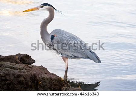 Beautiful grey heron (Ardea cinerea) portrait at the beach