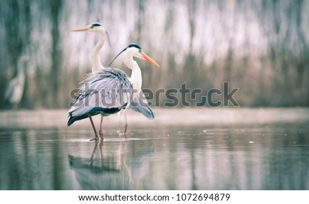 beautiful grey heron fishing on a lake - wildlife in its natural habitat