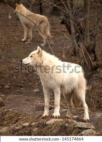 beautiful grey wolf with a tan and black wolf in woods behind him