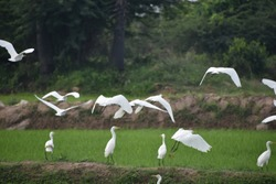 beautiful group of little egret white bird flying over green farm agricultural land on morning