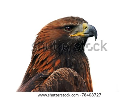 Beautiful  grown eastern imperial eagle, close up portrait over a white background
