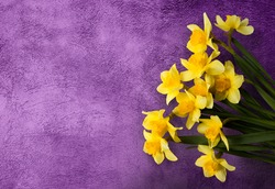 Beautiful grunge Background with Yellow narcissus flowers on lilac texture. Colorful Greeting Card for Mothers Day, Birthday, March 8. Top view, Flat lay. Horizontal Image With Copy Space.