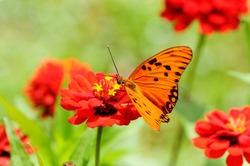 Beautiful Gulf Fritillary (Euptoieta claudia) butterfly posed on a red flower feeding