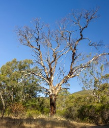 Beautiful Gum Tree - Eucalyptus - in the Australian Outback in a clear sky during a hot summer day. Colourful and vivid  trees in the background. In the wilderness and nature.
