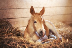 Beautiful haflinger foal - horse photo