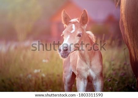 Beautiful haflinger foal - horse photo Foto stock ©