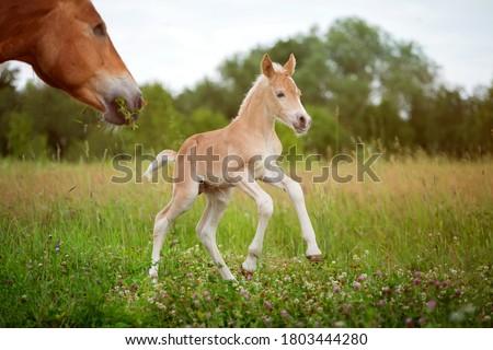 Beautiful haflinger foal - horse photo