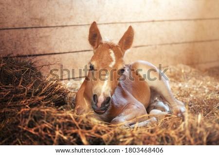 Beautiful haflinger foal - horse photo Сток-фото ©