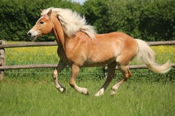 beautiful haflinger horse is runing on the paddock