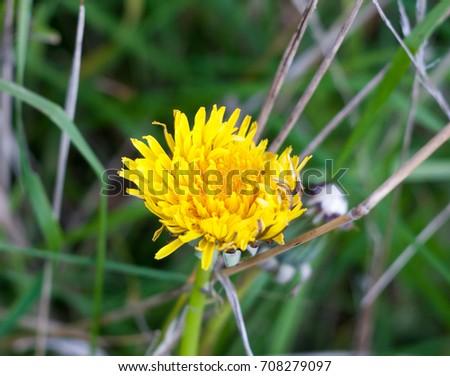 beautiful half open yellow dandelion flower head petals; Essex; England; UK #708279097
